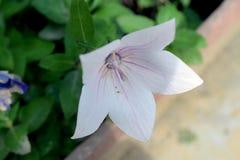 Flor colorida bonita do verão em meu jardim Imagens de Stock