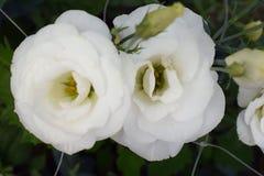 Flor colorida bonita do verão em meu jardim Fotografia de Stock Royalty Free