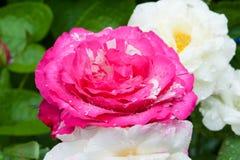 Flor colorida con agua del descenso foto de archivo
