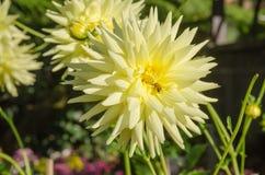 Flor colorida de la dalia con la abeja Foto de archivo