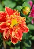 Flor colorida de la dalia con la abeja Imagen de archivo