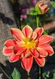 Flor colorida de la dalia con la abeja Fotografía de archivo