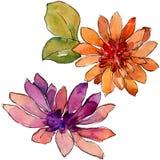 Flor colorida de la margarita africana de la acuarela Flor botánica floral Elemento aislado del ejemplo libre illustration