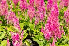 Flor colorida del celosia Fotos de archivo