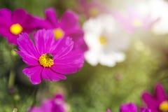 Flor colorida del cosmos con la luz del instinto de la mañana Fotos de archivo libres de regalías