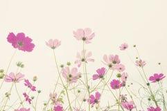 Flor colorida del cosmos del foco suave foto de archivo libre de regalías