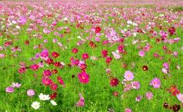 Flor colorida del cosmos en el campo Imagen de archivo libre de regalías