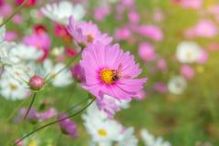 Flor colorida del cosmos en el jardín hermoso Imagenes de archivo