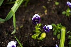 Flor colorida del pensamiento conocida como viola var tricolor el hortensis florece en un jardín botánico en un fondo verde Imagen de archivo