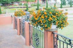 Flor colorida del seto en pote Imagen de archivo