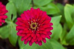 Flor colorida del zinnia Foto de archivo libre de regalías