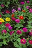 Flor colorida del zinnia Imagen de archivo