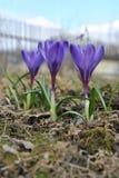 Flor colorida do açafrão da mola três Imagens de Stock