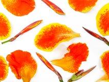 Flor colorida do canna isolada no fundo branco fotografia de stock royalty free