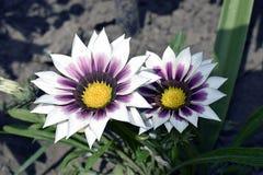 Flor colorida do verão em meu jardim na luz do sol Fotos de Stock