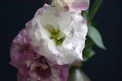 Flor colorida do verão em meu jardim na luz do sol Fotografia de Stock