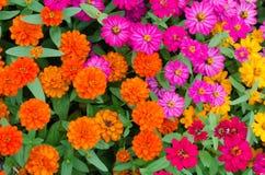 Flor colorida do zinnia fotos de stock
