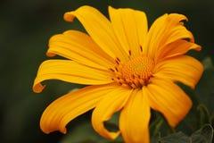 flor colorida en el norte de Tailandia Fotografía de archivo