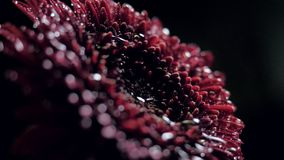 Flor colorida fresca próxima da vista lateral com gotas da água filme