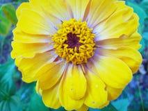 Flor colorida hermosa en primer fotografía de archivo libre de regalías