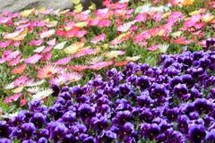 Flor colorida no jardim Imagens de Stock