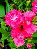 Flor colorida no jardim Fotografia de Stock Royalty Free
