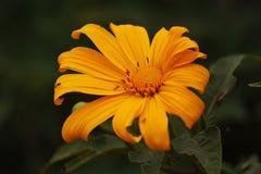 flor colorida no norte de Tailândia imagem de stock