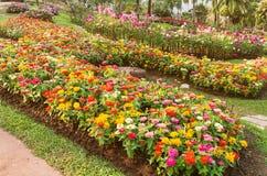 Flor colorido de la flor del zinnia Imagenes de archivo