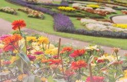 Flor colorido de la flor del zinnia Imágenes de archivo libres de regalías