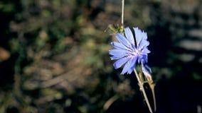 Flor común de la achicoria en verano metrajes