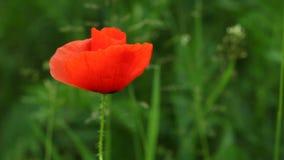 Flor común de la amapola del rojo en prado almacen de metraje de vídeo