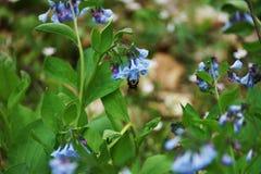Flor común de la campanilla con una abeja que se sienta dentro de una de las flores Fotografía de archivo libre de regalías