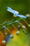 Flor común del lino Imagen de archivo libre de regalías