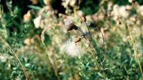 Flor común seca del sowthistle con pelusa metrajes