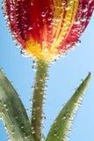Flor com bolhas de ar Foto de Stock Royalty Free