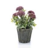 Flor com branco do plantador Fotos de Stock Royalty Free