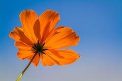 Flor com céu azul Fotografia de Stock Royalty Free