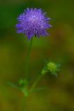Flor com flor roxa 01 Fotografia de Stock