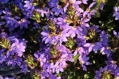 Flor com folhas grossa do ventilador de Scaevola Crassifolia fotografia de stock