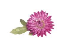 Flor com gotas Fotografia de Stock Royalty Free