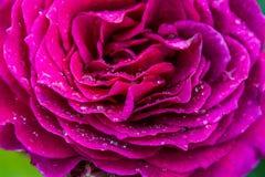 Flor com gotas da chuva Imagens de Stock