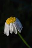 Flor com orvalho da manhã Imagens de Stock