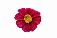 Flor com um zangão Foto de Stock