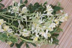 Flor comestível de moringa foto de stock royalty free