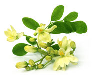 Flor comestible de Moringa Foto de archivo libre de regalías