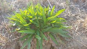 Flor-como a grama verde Imagens de Stock Royalty Free