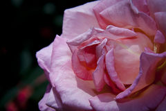 Flor completa da rosa do rosa Fotos de Stock Royalty Free