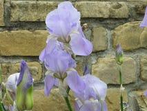 Flor completa de Iris In Imagens de Stock