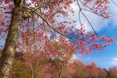 Flor completa do flowe da flor de cerejeira ou do Sakura na floresta Fotografia de Stock