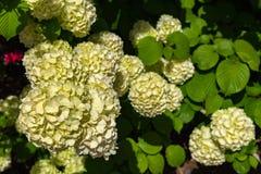 Flor completa do plicatum do viburnum, igualmente conhecida como o oodemari japonês das flores da bola de neve no dia ensolarado imagem de stock